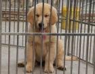 最大犬舍-直销各种名犬- 小型犬/中型犬/大型犬 -包健康