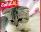 鱼刺纹加白折耳猫起司妹妹2个月大眼睛奶油mm