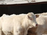 買一頭小牛要多少錢