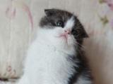 猫舍直销——活泼的折耳猫——豪礼多多