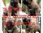 广州高加索大型犬 广州哪里有宠物狗场 哪里有卖纯种高加索犬
