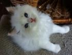 东莞 哪里有卖布偶猫 多少钱