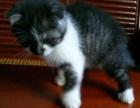 英短折耳猫种公猫咪