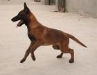 上海哪里有卖马犬上海马犬多少钱一只