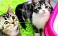 厦门哪里有卖美短猫幼犬 厦门纯种美短猫多少钱 厦门美短猫价格