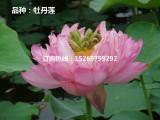 供应微山湖优质荷花种子 碗莲种子 莲花种子