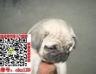 河北石家庄巴哥犬转让什么价格 出售纯种鹰版八哥图片求购宠物狗