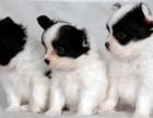 厦门哪有蝴蝶犬卖 厦门蝴蝶犬价格 厦门蝴蝶犬多少钱