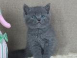 自家繁殖纯血统蓝猫 性格好干净健康无藓包活实地看猫