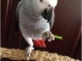 出售灰鹦鹉金刚鹦鹉亚历山大鹦鹉鹩哥和尚鹦鹉金太阳葵花亚马逊