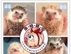 魔王松鼠,仓鼠,宠物兔子.小香猪.花枝鼠等小宠