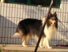 大型犬舍繁殖高品质苏格兰牧羊犬健康有保证欢迎上门