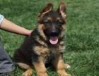 兰州德国牧羊犬多少钱一只 兰州哪里有卖纯种德国牧羊犬价格多少
