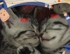 自家美短猫猫元月1日生的3个宝宝求新铲屎的