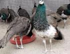养殖孔雀需要什么手续