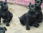 卡斯罗犬多少钱 精品卡斯罗犬2~4个月纯血幼犬出售