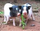 哪里有卖优质巴马香猪的养殖场 巴马香猪价格多少钱一只