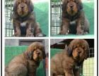 本地大型宠物繁殖基地上门挑选 藏獒 国犬