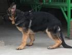 高品质双血统德国牧羊犬黑背哪里可以买到好一点的