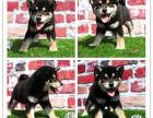 它是你的条狗 你确是它的生--柴犬宝宝