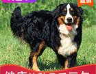 哪有伯恩山犬出售,伯恩山犬出售多少钱