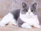 随州纯种英短银渐层 网红英短银渐层小猫出售
