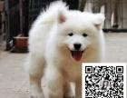 纯种萨摩耶犬--种公外配--签协议--支持送货上门
