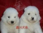 邢台桥西出售自家繁殖熊版萨摩宝宝,可见大狗