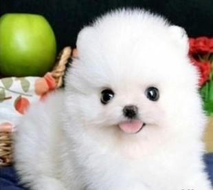 纯种博美犬 包犬瘟细小三个月 送大礼包 更有保障