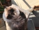 加菲喜玛猫找家长