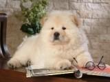 佛山出售纯种大头松狮犬/肉嘴松狮幼犬出售/活体宠物狗狗家庭犬