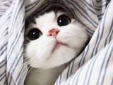 天津自家繁殖的猫咪 品相好 包健康