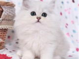 江苏苏州双血统金吉拉幼猫哪里卖