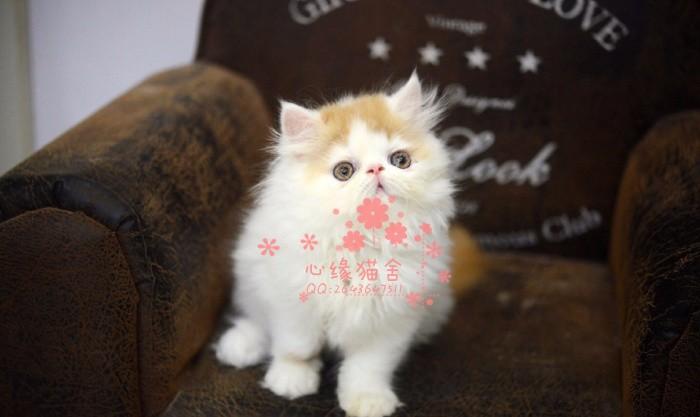 潍坊加菲猫多少钱 潍坊哪里出售的加菲猫幼犬价格较便宜