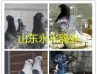 佛山元宝鸽观赏鸽肉鸽出售