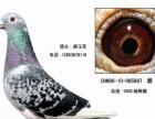 葫芦岛 观赏鸽信鸽 哪里有 淘宝交易 安全放心