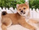 重庆哪里出售柴犬 重庆家宠物店信誉好