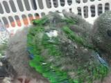 刚果灰鹦鹉,折中,鹩哥,小绯胸熟对!