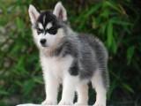 青岛纯种哈士奇多少钱一只 在青岛什么地方能买到纯种哈士奇犬