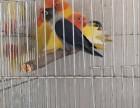出售黄金丝鹦鹉 观赏鸟