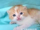 純種虎斑貓多少錢 店鋪搜:雙飛貓