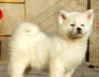 品牌犬舍 精品纯种日本秋田犬 大骨量 性格稳定
