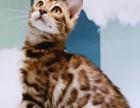 南京一只喵精品名猫馆 正规猫舍,精心繁育