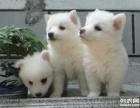 重庆哪里有银狐犬出售 纯种健康的银狐犬哪里有多少钱