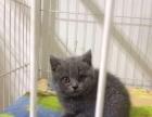 芜湖猫舍出售蓝猫安徽市里送货到家