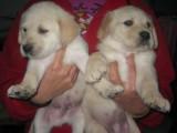 虹口区哪有拉布拉多犬卖 虹口区拉布拉多价格 拉布拉多犬多少钱