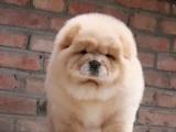 谜哈多利球体博美俊介犬,带健康证书 签协议包纯种
