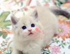 潍坊哪里有正规猫舍 潍坊出售布偶猫 纯种布偶猫价格