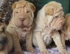 """""""精品沙皮犬——名犬繁殖基地——保证健康纯种"""