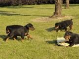 长期繁殖美系德系杜宾犬 各类纯种名犬